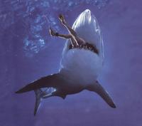 Sharkattack1