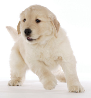 Golden_puppy_in_action_001_1